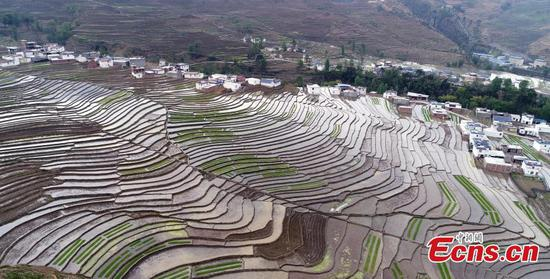 Terraced field in SW China shows prosperity, beauty