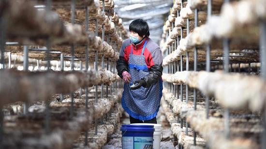 2020年3月16日,一名农民在中国河北省定州市开元镇蘑菇农场的温室里工作。由于采取了严厉措施应对新型冠状病毒流行,定州的扶贫农业基地已恢复生产。 /新华社