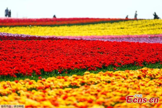Tulips bloom amid lockdown in Germany