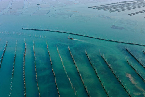 Kelp enters harvest season in Xiapu, Fujian