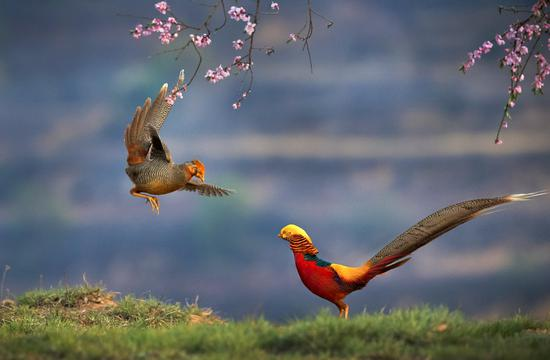 Spring dating for pheasants
