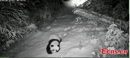 Injured wild panda captured by infrared camera in Gansu