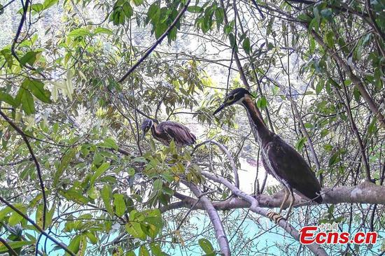 Rare white-eared night heron spotted in Guangdong
