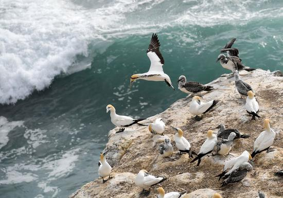 Gannets in New Zealand jazz up on Earth Day