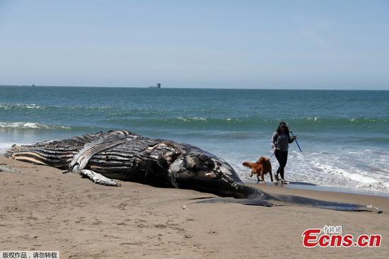 在旧金山的海滩上看到的死座头鲸