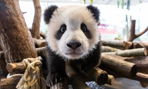 Zoo Berlin: We will try our best to raise our twin pandas despite revenue losses amid COVID-19