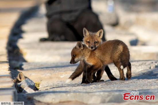 狐狸幼崽沿着安大略湖散步
