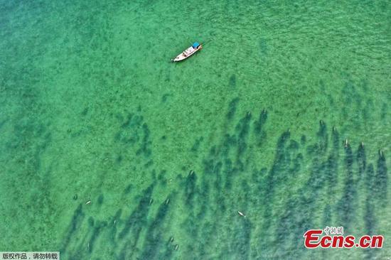 儒艮群在泰国岛的海岸外看到