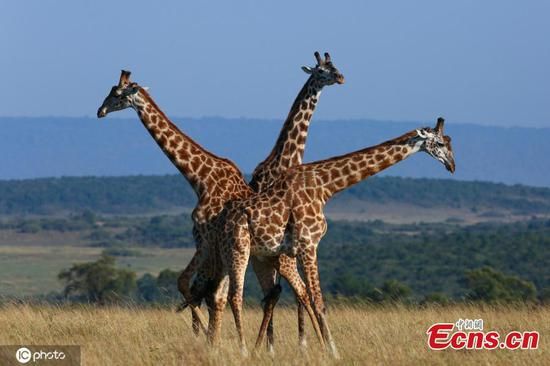 Seeing triple:Three giraffes spotted in Masai Mara Reserve