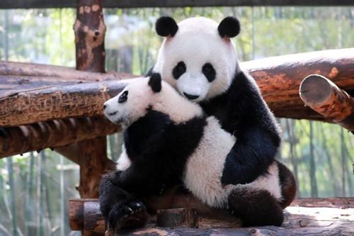 Panda cub meets the public