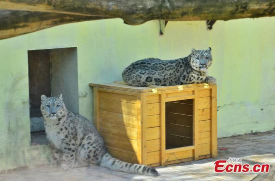 Captive-bred snow leopard twins make public debut