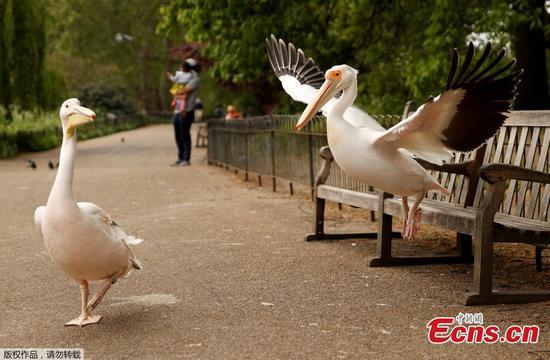 Pelicans seen in St James' Park in London