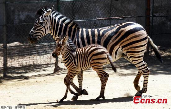 Baby zebra born at San Jorge Zoo in Mexico