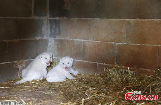 Paphos Zoo welcomes lion cubs during lockdown