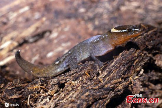 Meet the world's smallest lizard