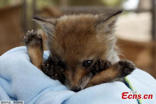 Super cute baby fox rescued in Spanish city