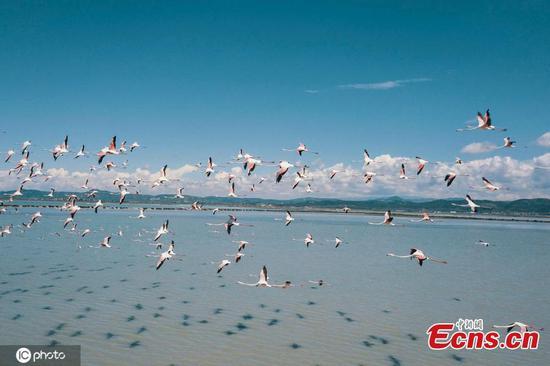 火烈鸟涌向阿尔巴尼亚的泻湖