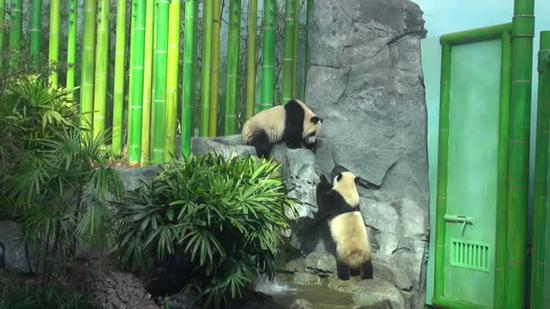 Canadian zoo to return pandas to China early over bamboo shortage