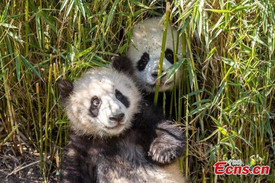 Bamboo supply sufficient for panda family in Germany
