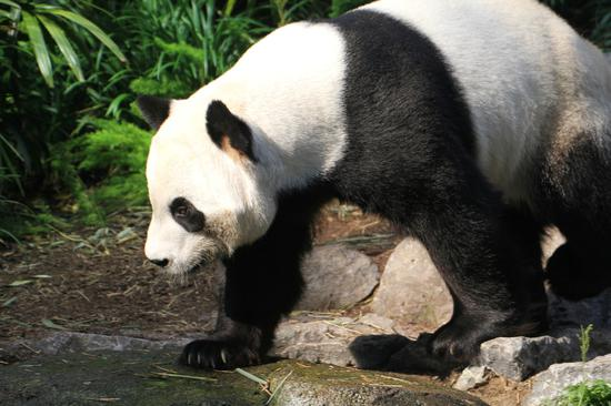 Canadian zoo sending back pandas due to supply strain