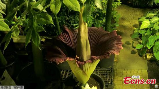 A view of the world's largest flower blooming