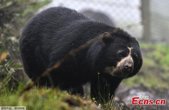 In pics: Spectacled bear at zoo in Colombia