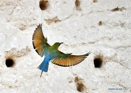 在福建厦门看到蓝尾蜂食者
