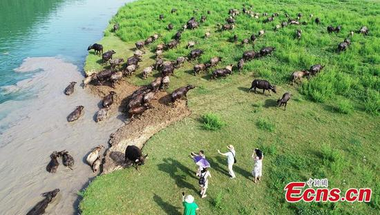 Buffaloes cross river in Southwest China city