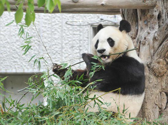 Japan's Kobe city to return giant panda to China as lease expires