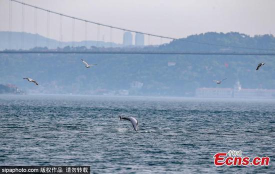 在土耳其博斯普鲁斯海峡中看到的海豚