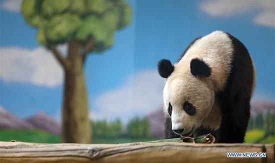 Giant pandas relocated to zoo in Anshan, Liaoning