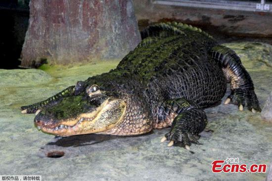 Alligator who survived WWII bombing dies aged 84