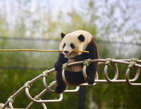 Tian Bao was born in 2016 in the Belgian zoo of Pairi Daiza in Brugelette and is the son of Hao Hao and Xing Hui, two giant pandas that arrived at the Zoo in 2014.  (Photo provided by the Belgian zoo of Pairi Daiza)
