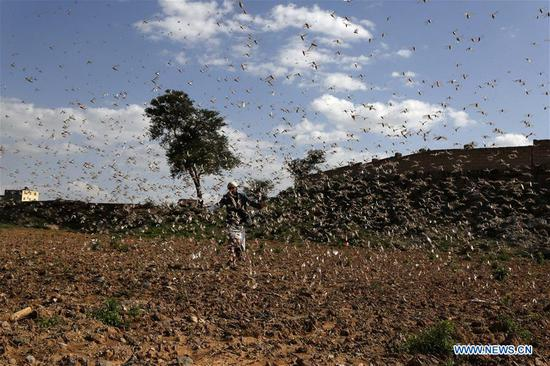 Locusts invade cultivation area in Dhamar province, Yemen
