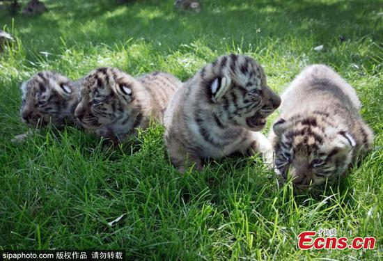 Newborn Amur tiger cubs in Crimea