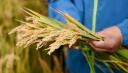 China grows sea rice on Qinghai-Tibet Plateau
