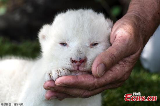 Meet White King, the first white lion cub born in Spain