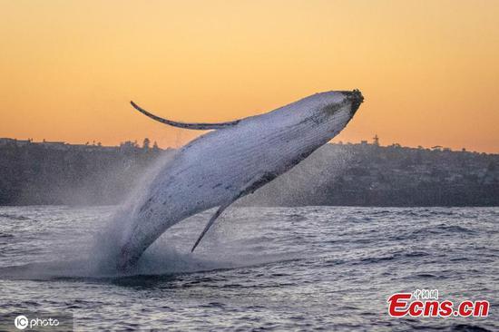 图片:神奇时刻的座头鲸在悉尼港嬉戏