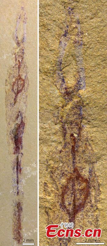 Oldest worm ancestors discovered that lived in tubes