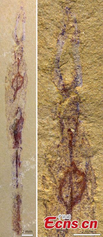 最古老的蠕虫祖先发现生活在管中