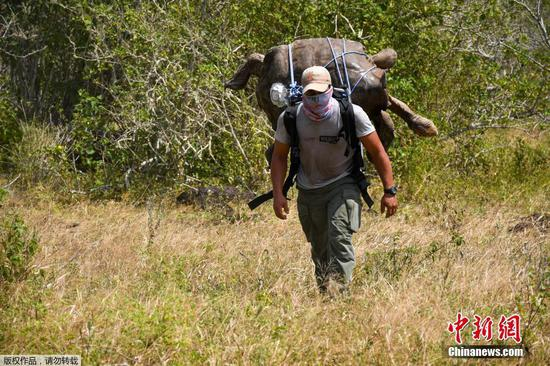Giant Galapagos tortoises head home