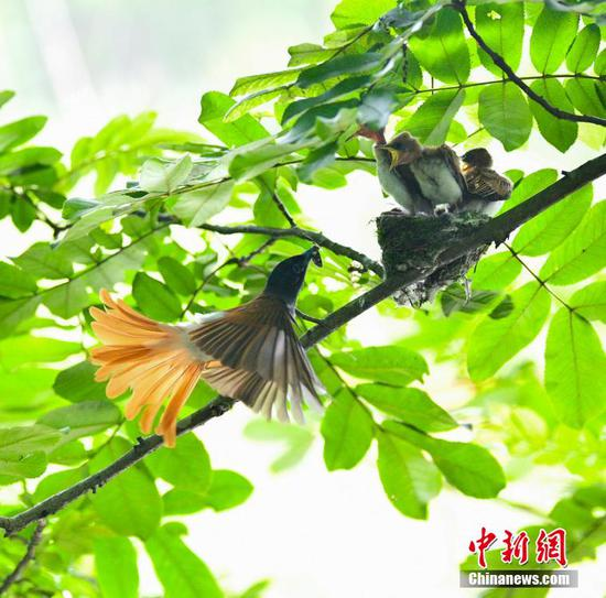 Paradise flycatchers spotted in Anhui