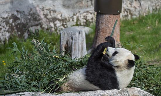 One of giant pandas living in the Ähtäri Zoo eat bamboo. (Photo/Courtesy of Ähtäri Zoo)