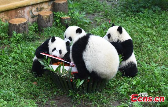 Zoo held 1-year-old birthday celebration for four panda cubs in Chongqing