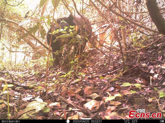Endangered black bear captured by camera in Zhejiang