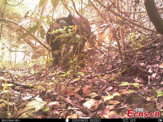照相机捕获的濒危黑熊