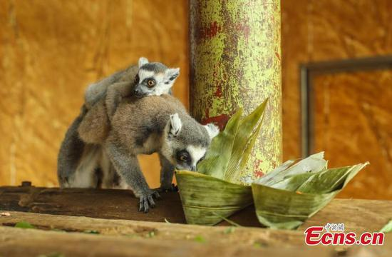Animals enjoy zongzi to celebrate the upcoming Dragon Boat Festival in Shandong