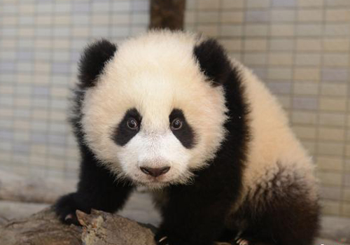 Giant panda Yuanyuan gives birth to second baby at Taipei Zoo
