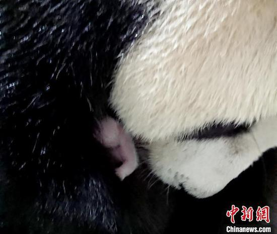 Female giant panda Yuanyuan and her baby. (Photo provided to China News Service)