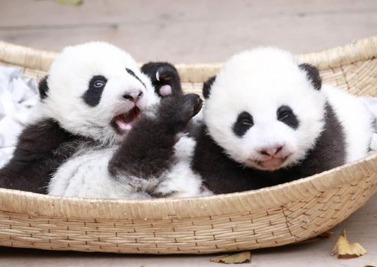Twin giant panda cubs die of multiple organ failure in China